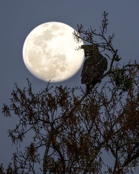 The Great Horned Owl and the Moon