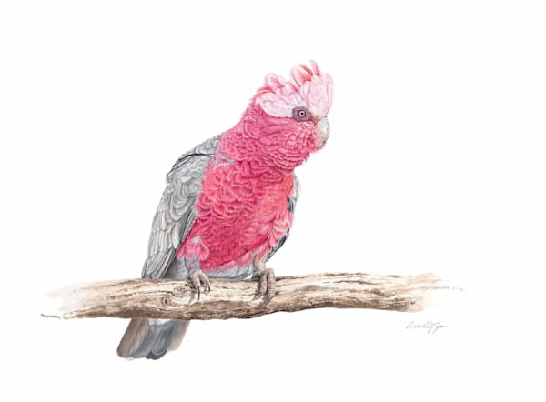 Ruffled Feathers - Galah