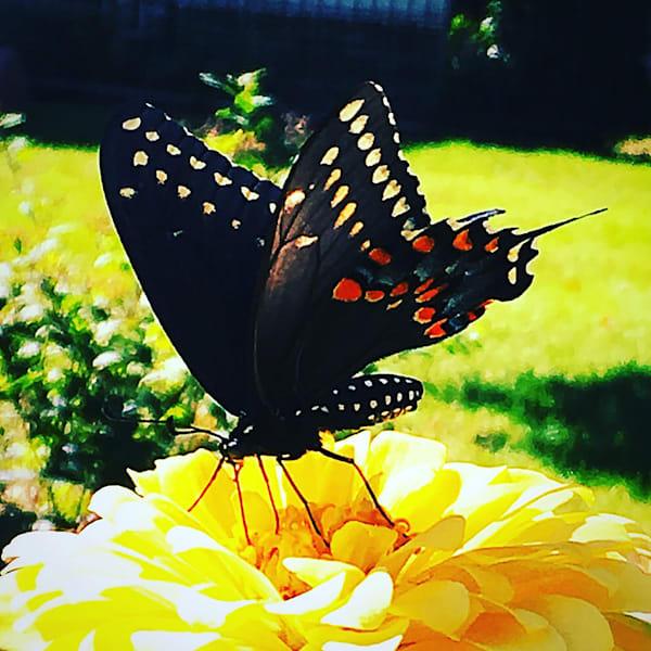 Black Swallowtail Art | Sunrise Galleries