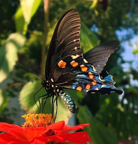 Swallowtail On Orange Zinia Art | Sunrise Galleries