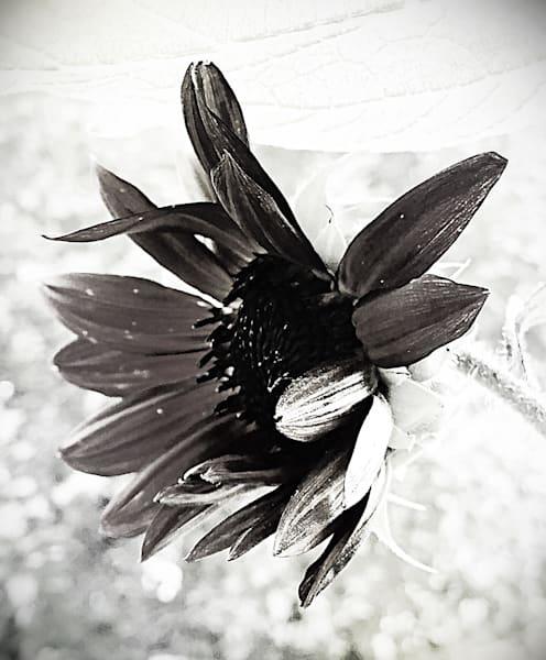 Chianti Sunflower Art | Sunrise Galleries