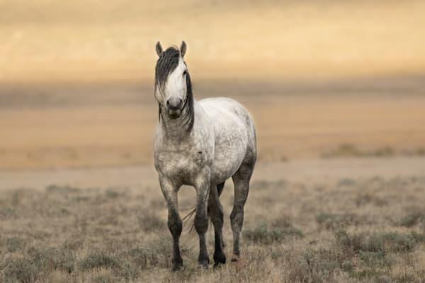 Gorgeous gray wild stallion in the Utah desert.