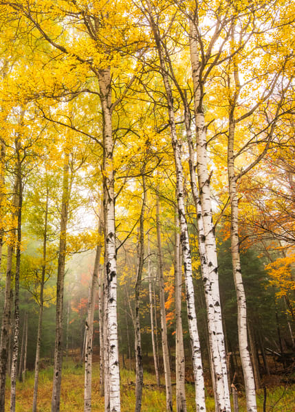 Birch Trees Color Vert Photography Art | Kurt Gardner Photogarphy Gallery
