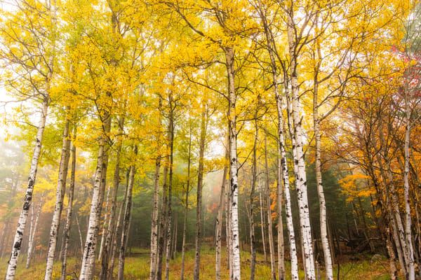 Birch Trees Color Horizantal Photography Art   Kurt Gardner Photogarphy Gallery