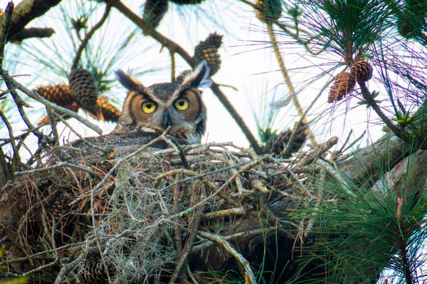 Female Great Horned Owl on Nest