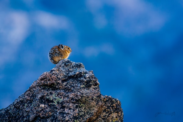 Top of the World. Pika on the Beartooth Plateau, Wyoming.
