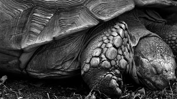 Honu In Black And Whte Photography Art | Ed Sancious - Stillness In Change