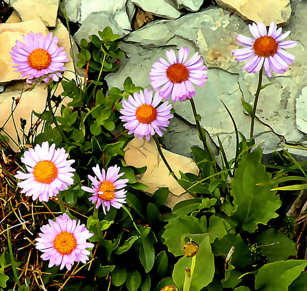 Alpine Daisies - Prints Only