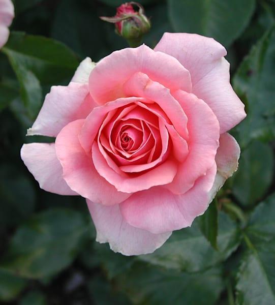 Nature's Rose
