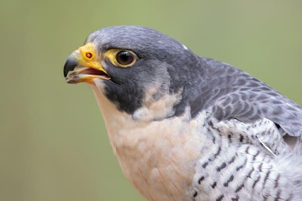 Peregrine Falcon Calling Photography Art | Matt Cuda Nature Photography