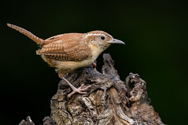 Carolina Wren Crawlin on  Dead Tree