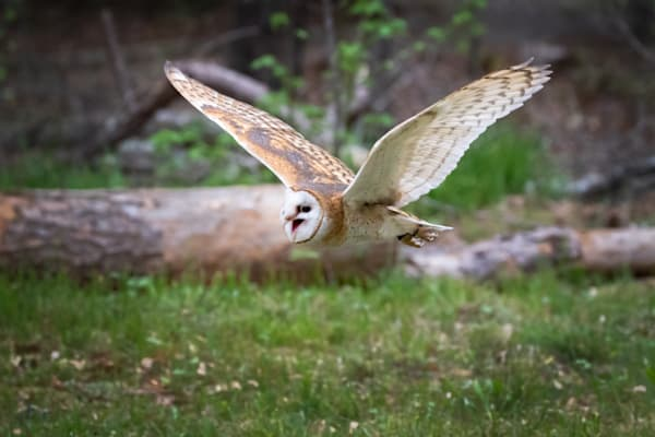 Barn Owl In Flight Photography Art | Matt Cuda Nature Photography