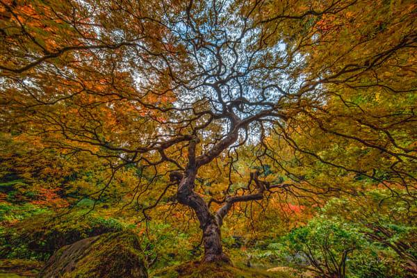 Oregon, Fall, Japanese Maple, Portland Japanese Garden, National Geographic