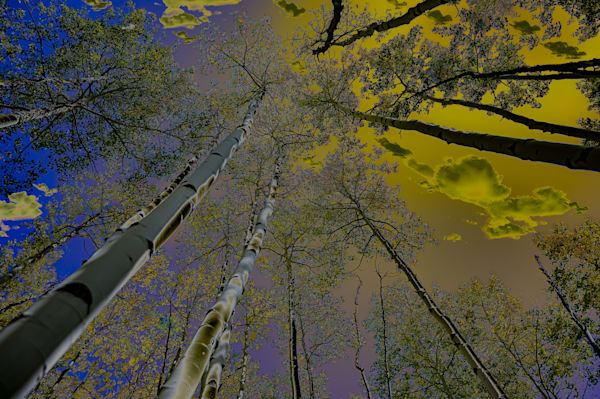 Sky And Towering Trees | Silver Spirit Photography