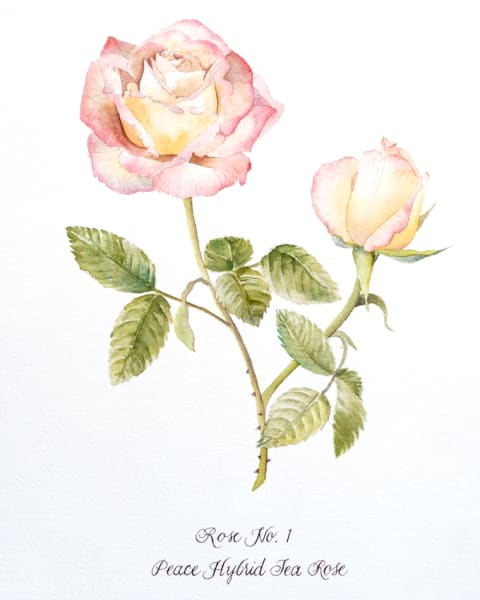 Close up water color paining of a rose