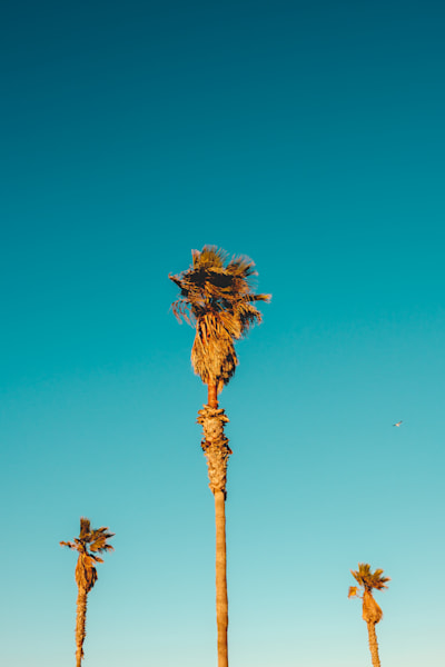 3 Palms Along The Pacific Photography Art | Rinenbach Photography