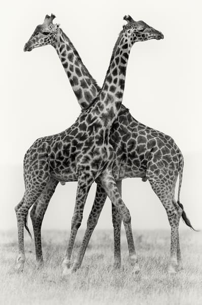 Beautiful Giraffes necking in black & white fine art.