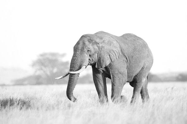 Wonderful elephant in Serengeti black & white print