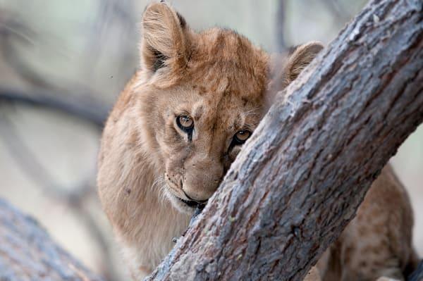 Adorable lion cub print