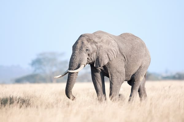 Stunning elephant crosses the Serengeti photo.