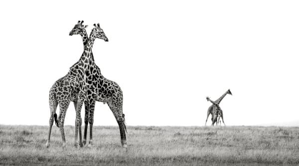 Amazing giraffe necking behavior black & white print