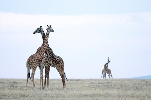 Amazing giraffe necking behavior color print