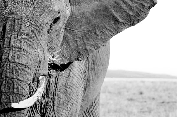 Incredible close up of elephant black & white fine art