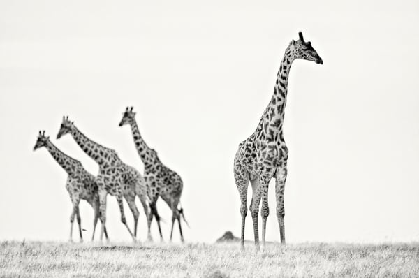 Awesome giraffes in black & white