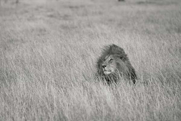Awesome lion in Masai Mara