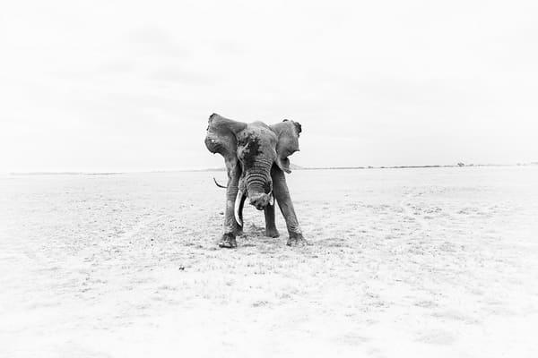 stunning wild elephant old bull photo