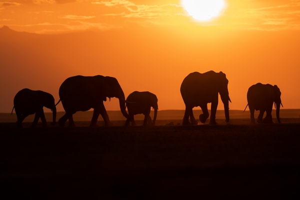 Stunning sunset with elephant silhouettes  fine art print