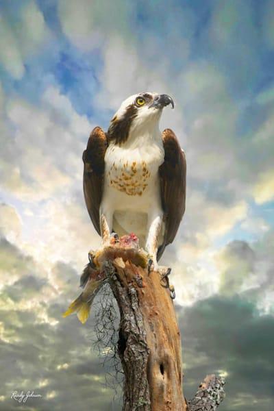 Osprey Scanning The Sky, Guarding Its Catch Art | Randy Johnson Art and Photography