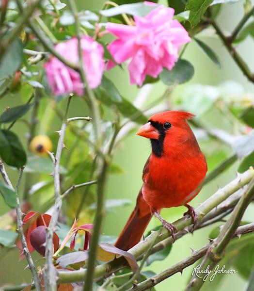 Cardinal And Roses Art | Randy Johnson Art and Photography