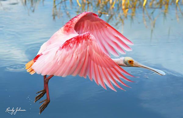 Roseate Spoonbill Skimming The Marsh Art | Randy Johnson Art and Photography