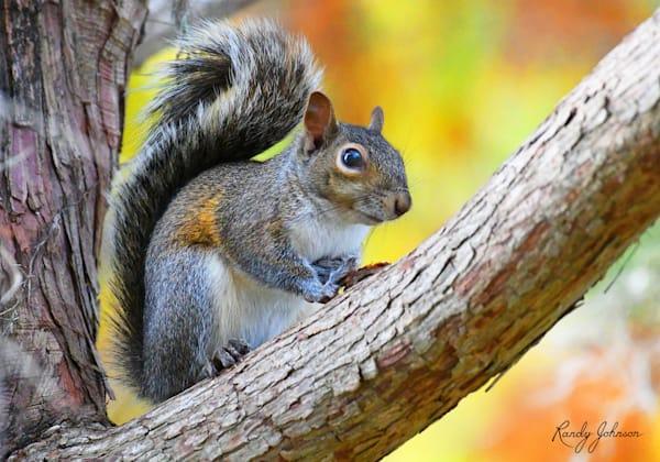 Eastern Gray Squirrel Art   Randy Johnson Art and Photography