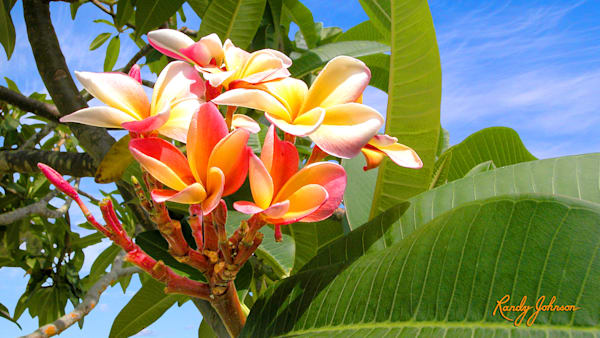 Frangipani At Anna Maria Island Art | Randy Johnson Art and Photography