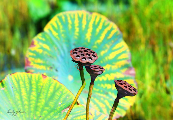 American Lotus Seed Pods Art | Randy Johnson Art and Photography