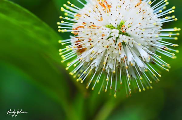 Button Bush Bloom Art | Randy Johnson Art and Photography