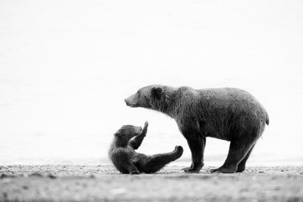 Cute grizzly mother and cub