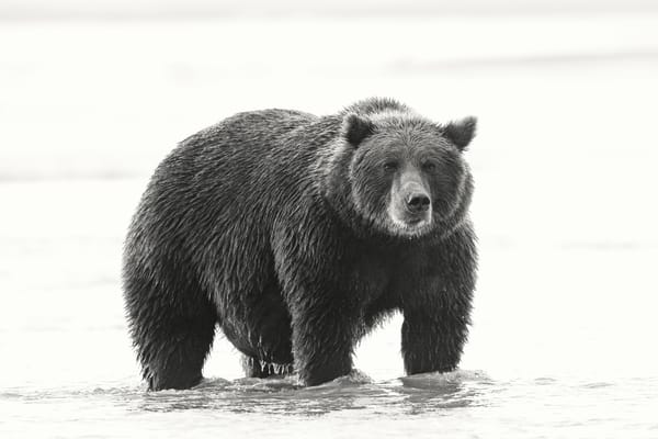 Eye popping large grizzly photo.
