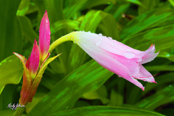 Pink Lady Art | Randy Johnson Art and Photography