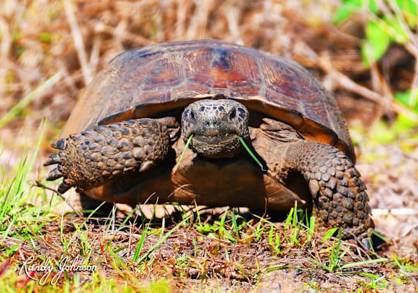 Gopher Tortoise Art   Randy Johnson Art and Photography