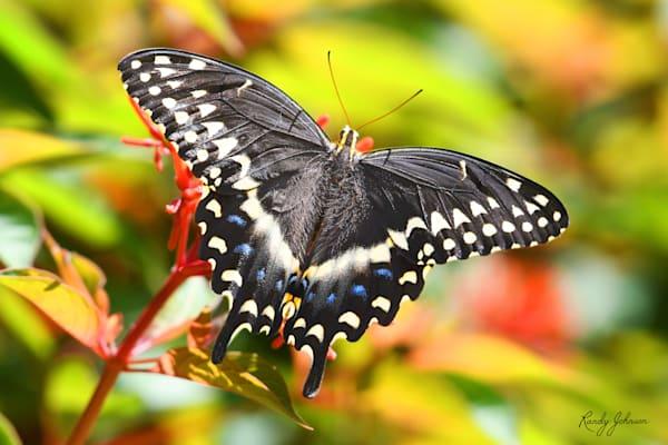 Black Swallowtail Butterfly And Firebrush Art   Randy Johnson Art and Photography