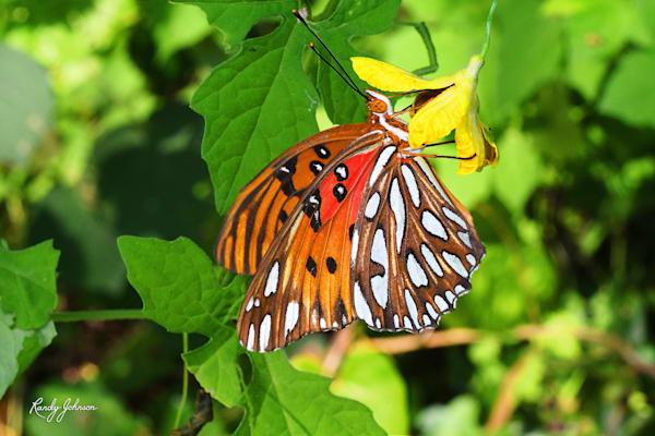 Gulf Fritillary Butterfly 2 Art   Randy Johnson Art and Photography