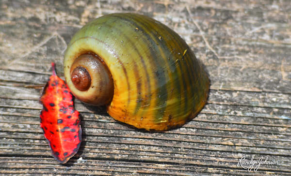Apple Snail Shell 1 Art   Randy Johnson Art and Photography