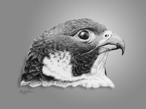 Peregrine Falcon Art | Randy Johnson Art and Photography