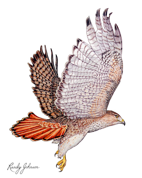 Red Tailed Hawk Art | Randy Johnson Art and Photography