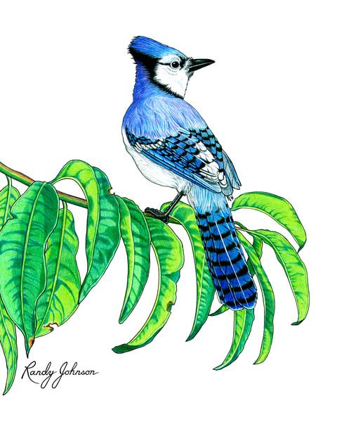 Blue Jay Art | Randy Johnson Art and Photography