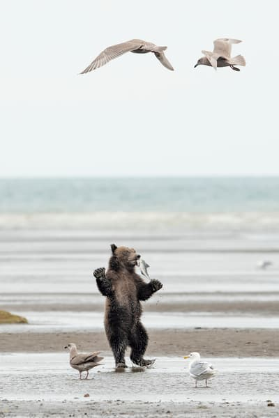 A cute grizzly cub standing photo