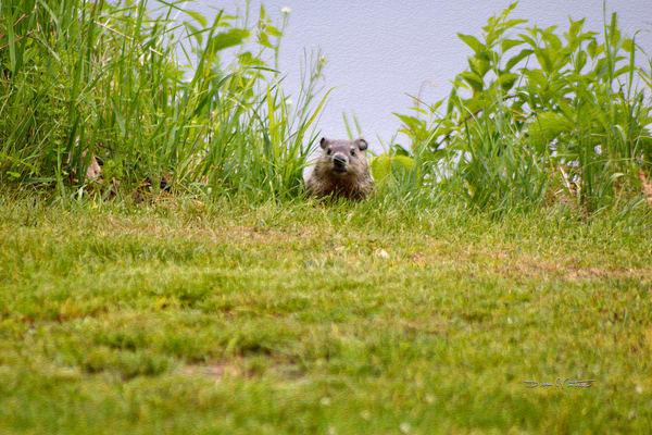 Curious Little Groundhog